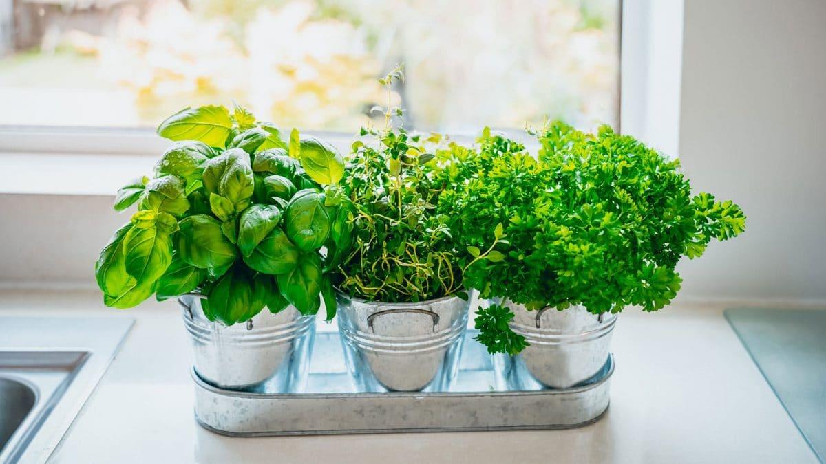 Astuce cuisine : découvrez ces herbes aromatiques qui n'ont pas besoin de terre pour pousser !