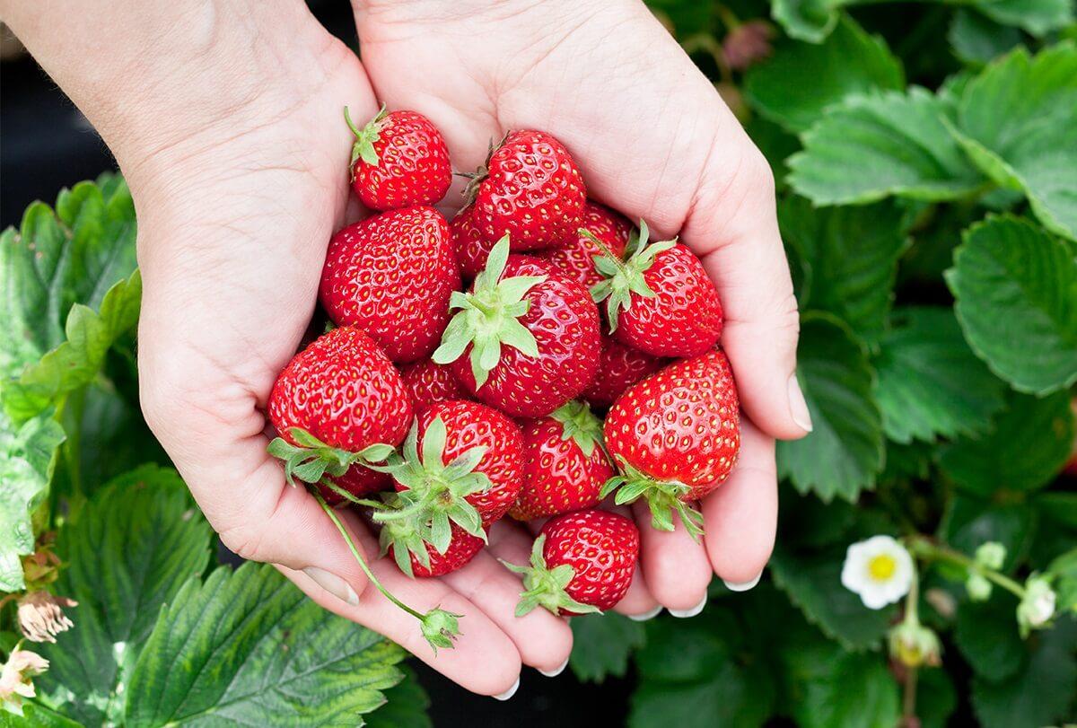 Astuce santé : Les bonnes raisons pour lesquelles vous devez consommer très souvent des fraises !